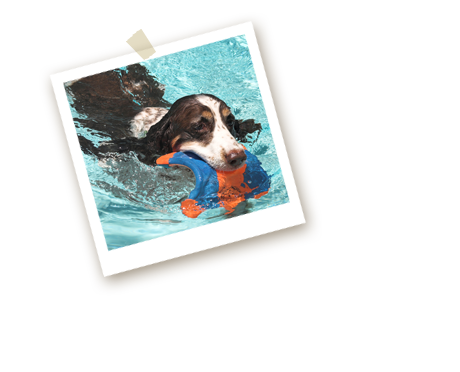 Swimming Spaniel with Toy